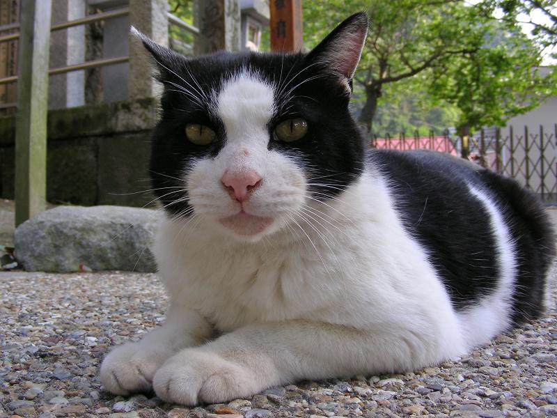お社から出て来た黒白猫3