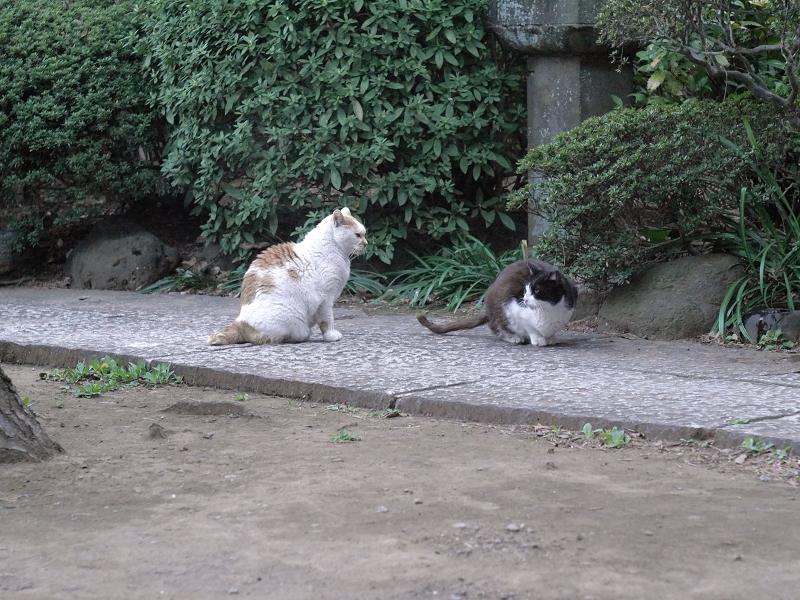 睨み合う白茶猫と黒白猫1
