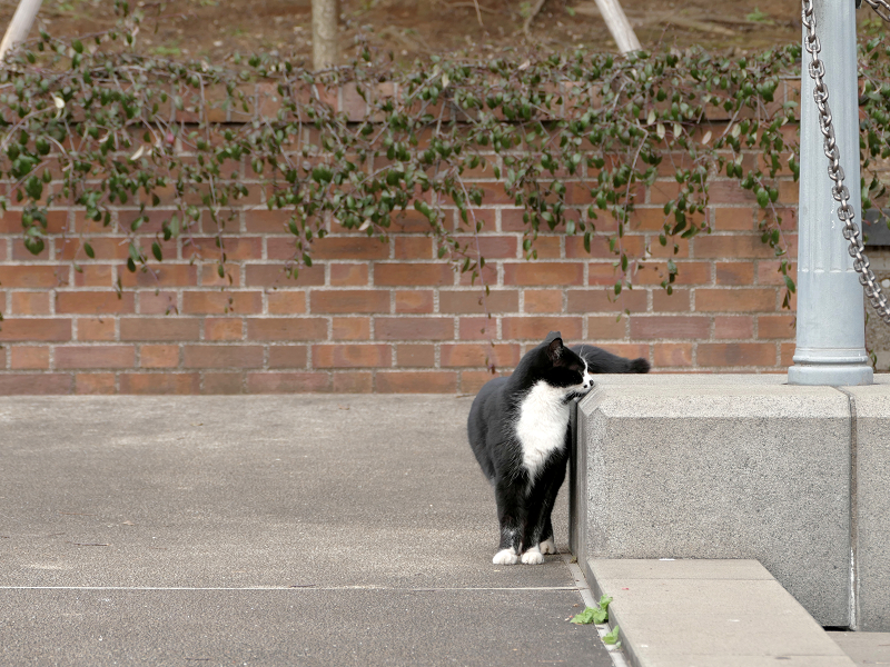 体を擦り付ける黒白猫1