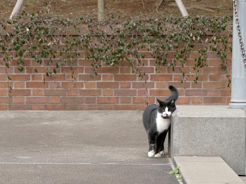 体を擦り付ける黒白猫3