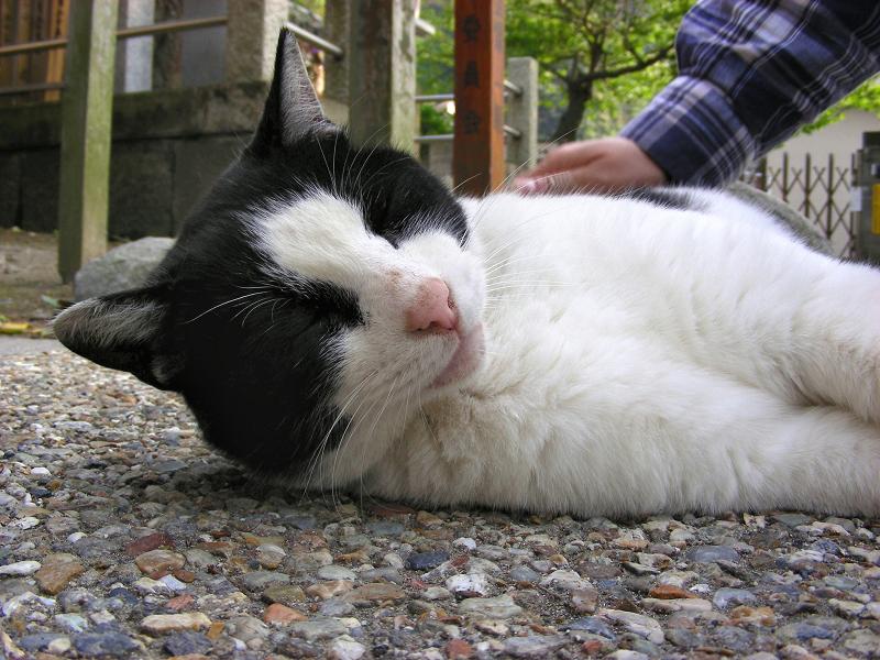境内で寝転がってる黒白猫1