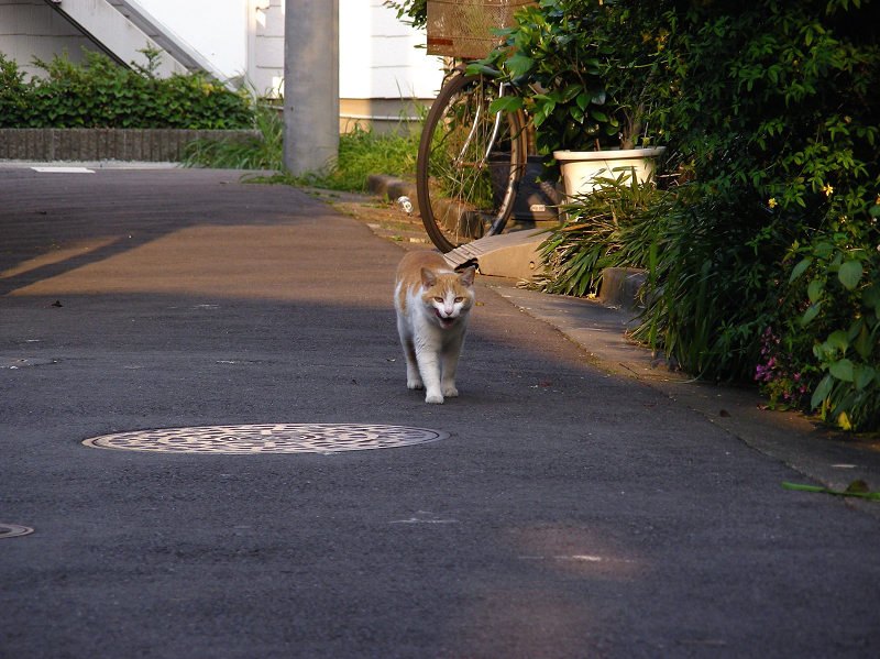 路地を歩いてる茶白猫1