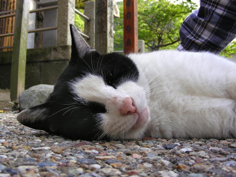 境内で寝転がってる黒白猫2