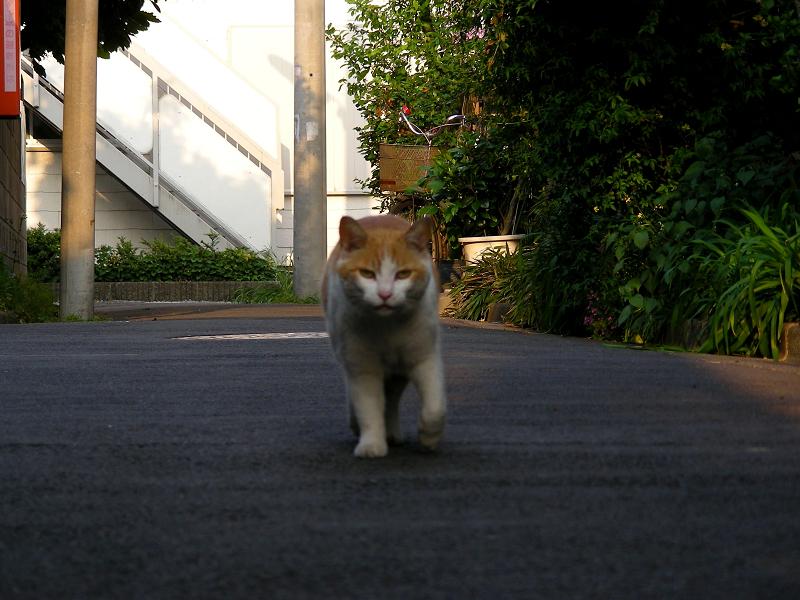 路地を歩いてる茶白猫2