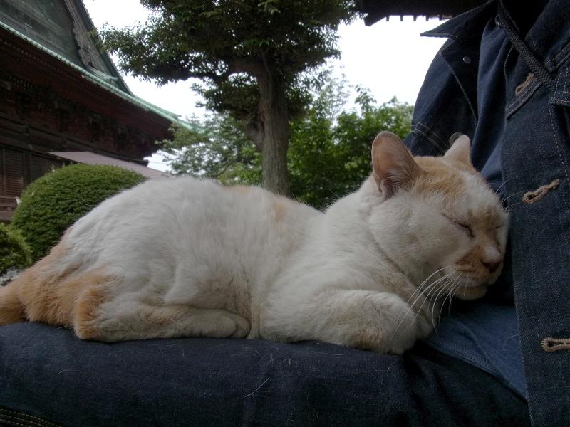 膝で寝ている白茶猫1