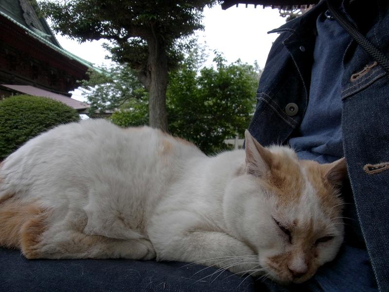 膝で寝ている白茶猫2