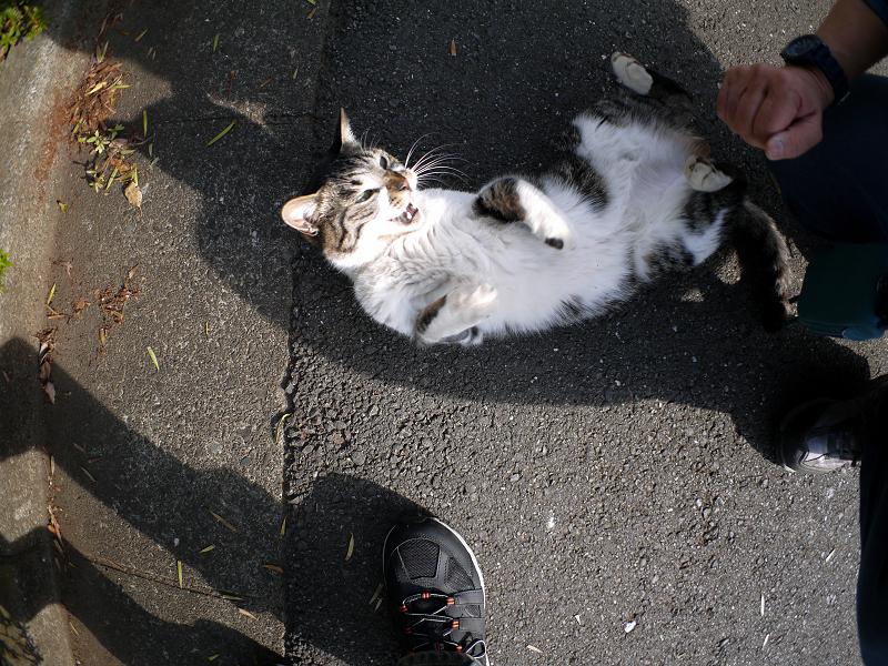 境内で転がってるキジ白猫3