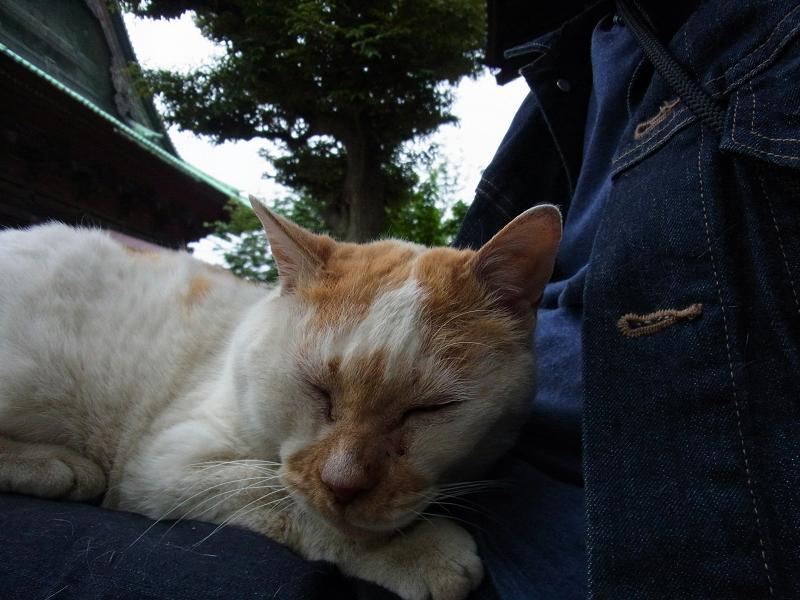 膝で寝ている白茶猫3