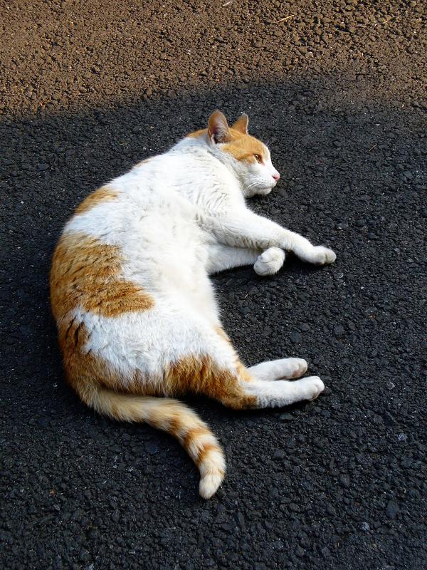 路地端で寝転ぶ茶白猫1