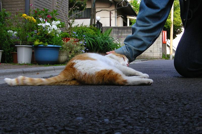 路地端で寝転ぶ茶白猫2