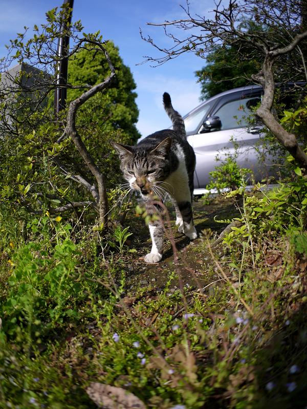 茂みの間で寄って来るキジ白猫1