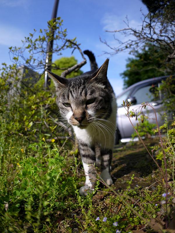茂みの間で寄って来るキジ白猫2