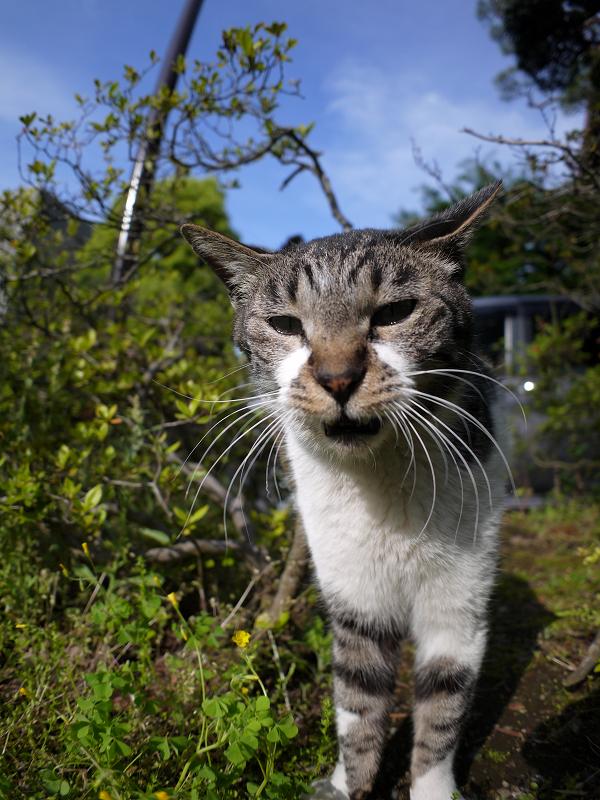 茂みの間で寄って来るキジ白猫3