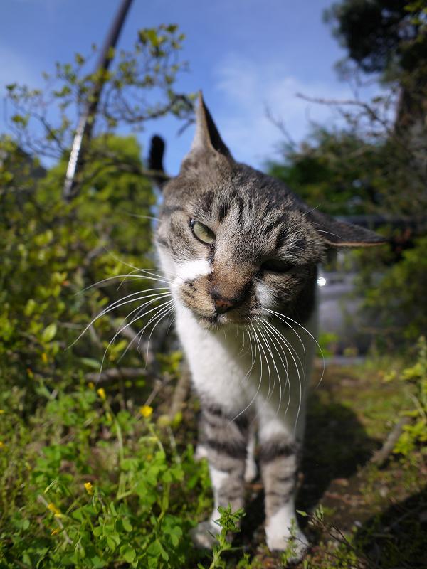 茂みの間で寄って来るキジ白猫4
