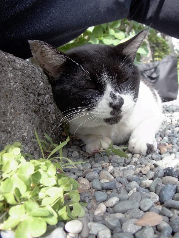 腿の下で草を食う白黒猫1