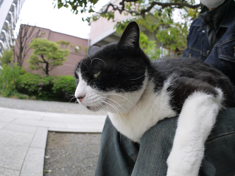 膝に乗ってる黒白猫3