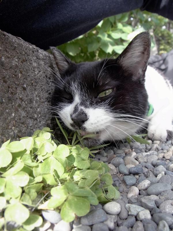 腿の下で草を食う白黒猫3