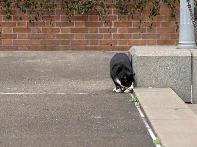 何かを見ていた黒白猫1