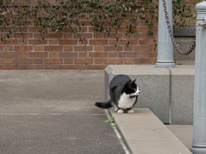何かを見ていた黒白猫3