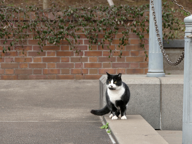 何かを見ていた黒白猫4