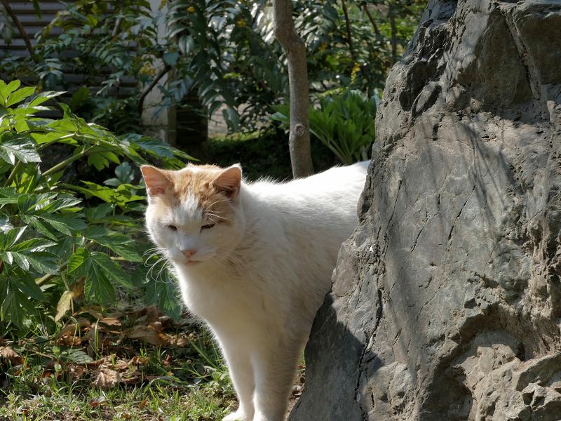 岩の向こうから寄ってきた白茶猫1