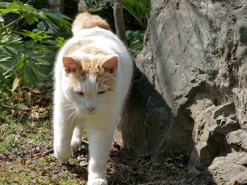 岩の向こうから寄ってきた白茶猫2