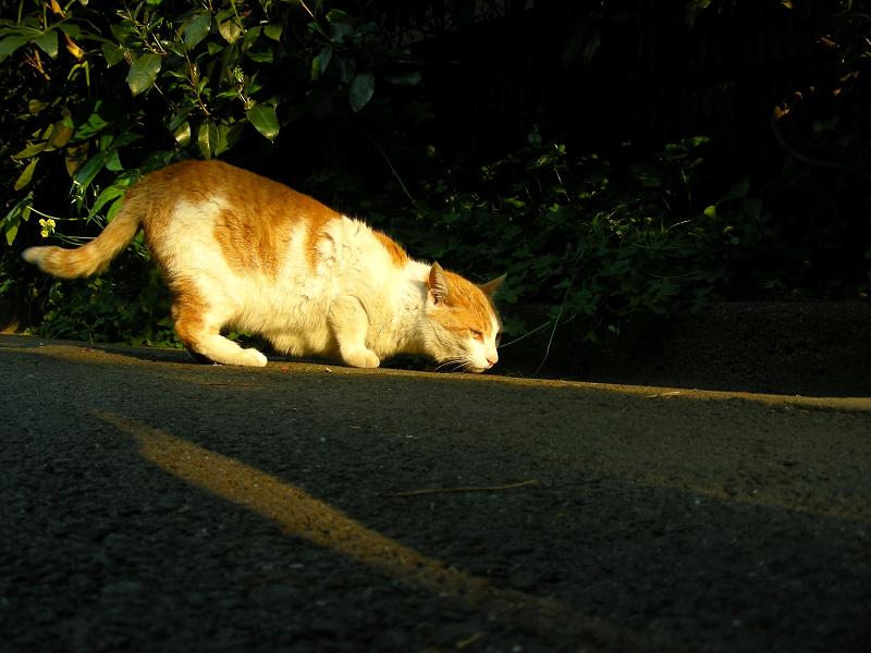 夕日と茶白猫1