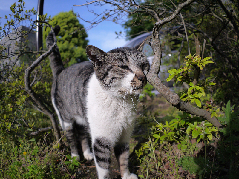 小枝に顔を擦り付けるキジ白猫1