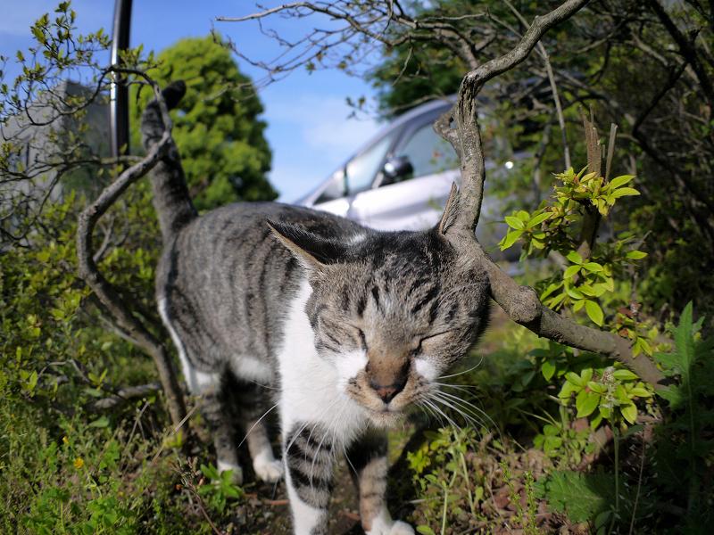 小枝に顔を擦り付けるキジ白猫2