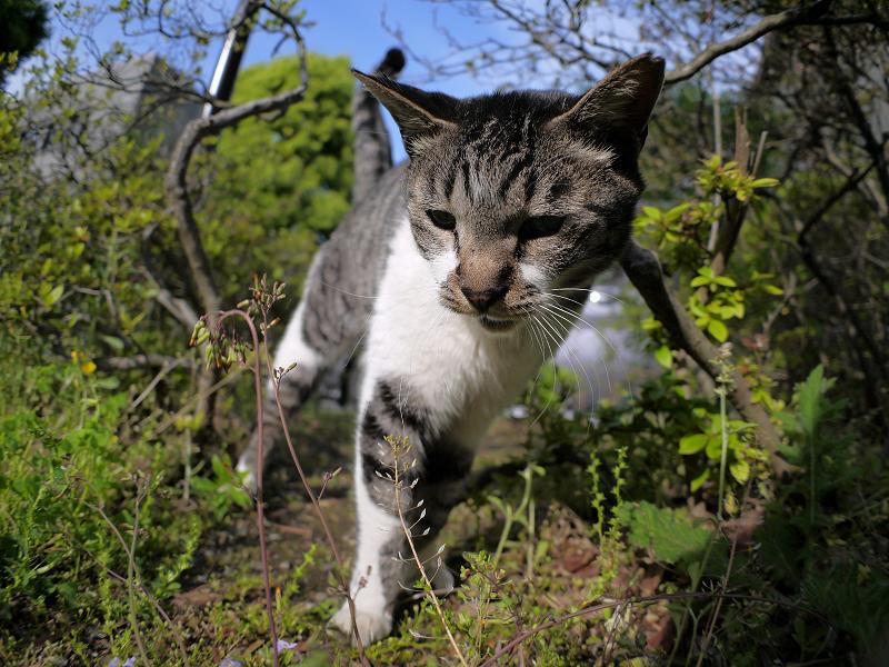 小枝に顔を擦り付けるキジ白猫3