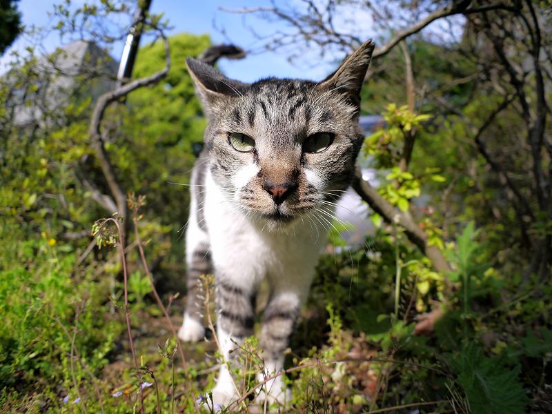 小枝に顔を擦り付けるキジ白猫4