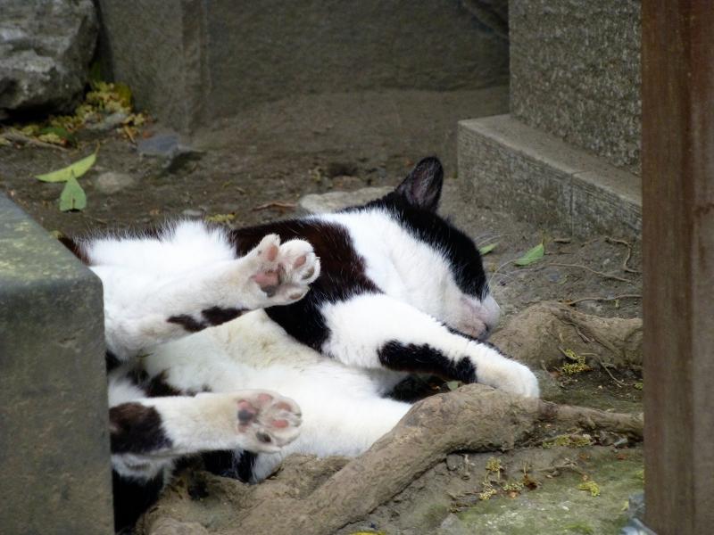 木の根元で転がる黒白猫1