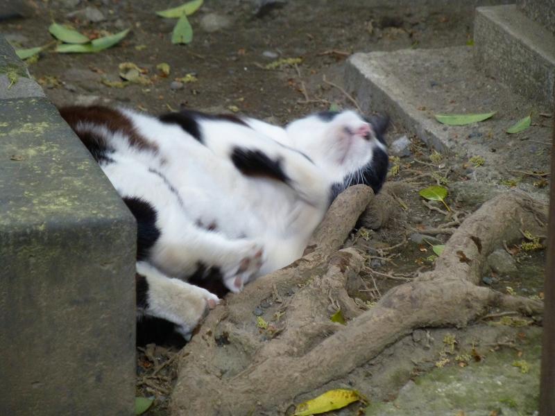 木の根元で転がる黒白猫2
