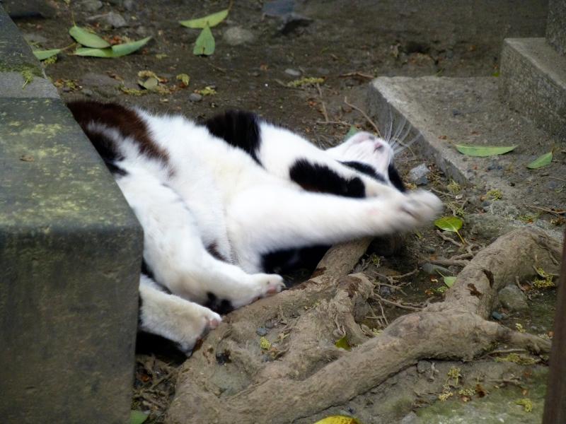 木の根元で転がる黒白猫3