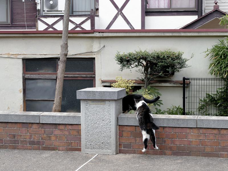 公園の煉瓦塀を越えるキジ白猫1