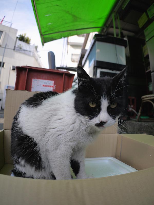 裏路地箱に乗った黒白猫2