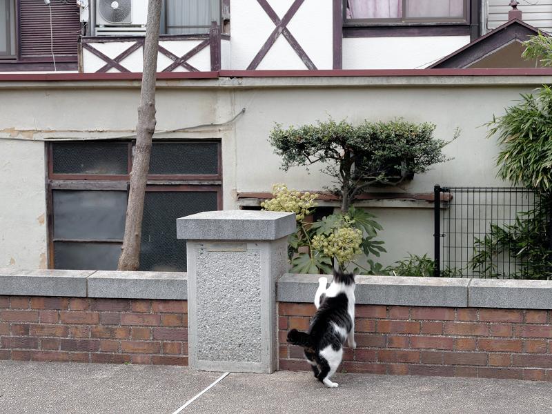 公園の煉瓦塀を越えるキジ白猫2