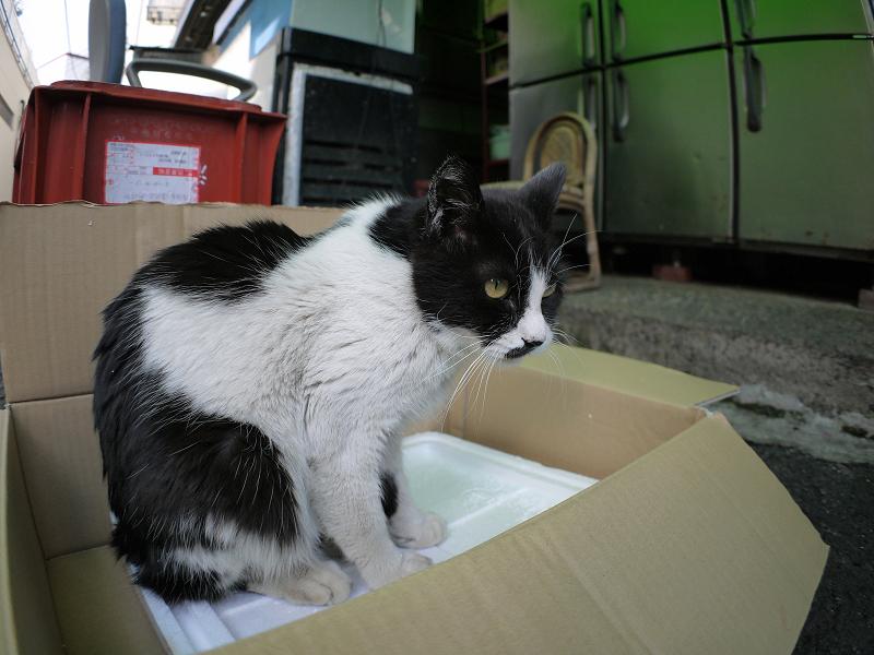 裏路地箱に乗った黒白猫3