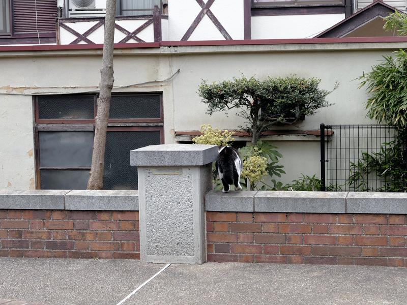 公園の煉瓦塀を越えるキジ白猫3
