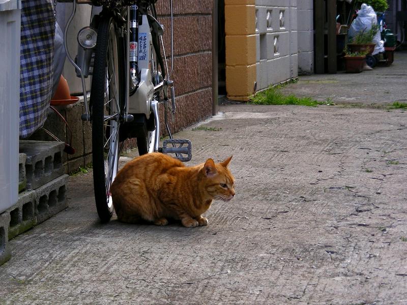 住宅街の茶トラ猫1