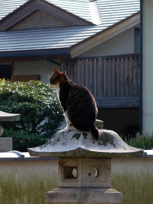石灯籠に乗ってるキジ白猫1