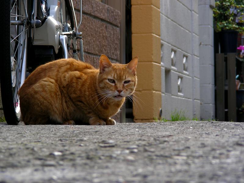 住宅街の茶トラ猫2