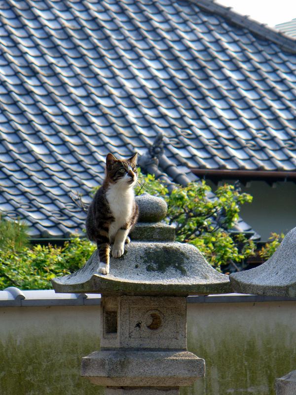 石灯籠に乗ってるキジ白猫2