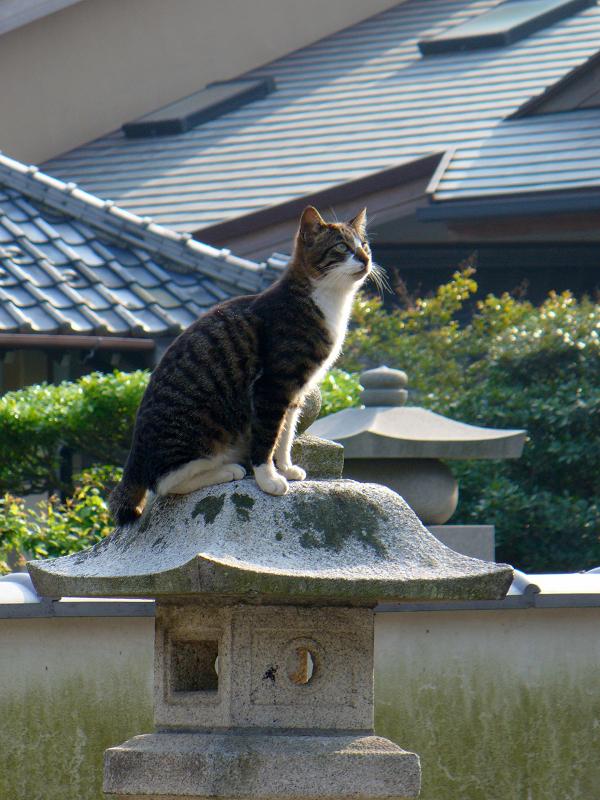 石灯籠に乗ってるキジ白猫3