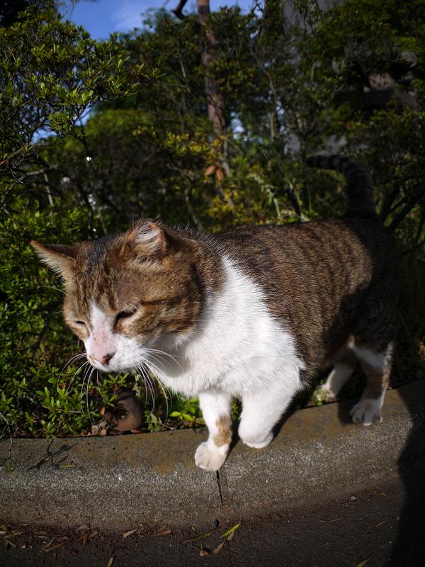 茂みから出て来たキジ白猫1
