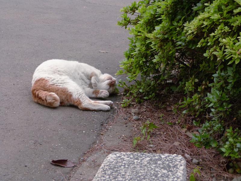 植え込み横で転がる白茶猫1