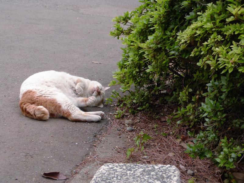 植え込み横で転がる白茶猫2