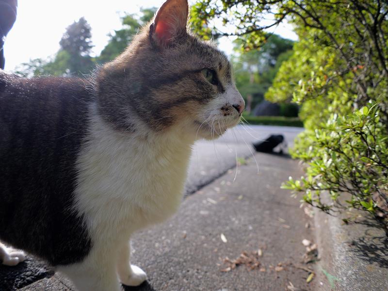 茂みから出て来たキジ白猫3