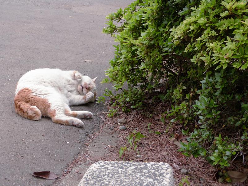 植え込み横で転がる白茶猫3