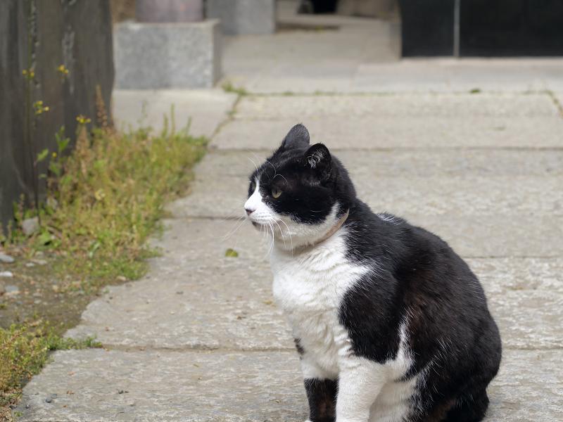 石参道の黒白猫1